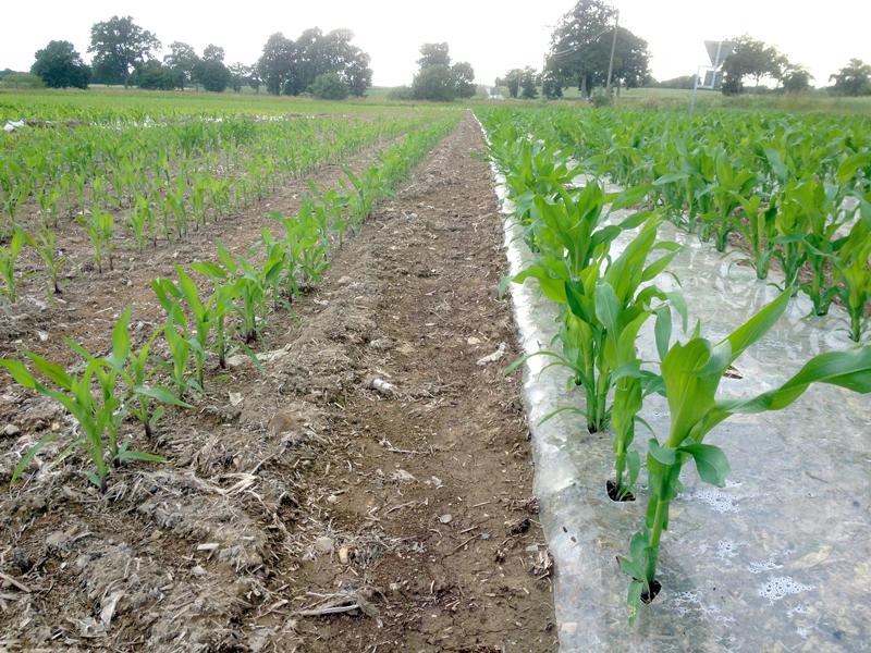 Maïs sous plastique: une technique rentable… dans certains cas uniquement