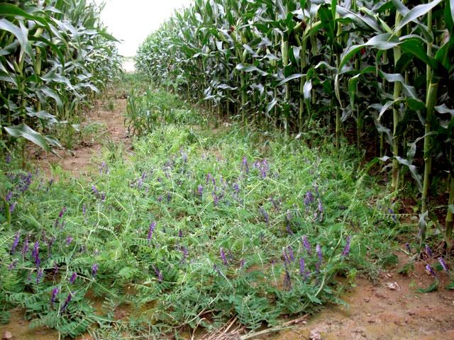 Semis de couverts sous le ma s a2c le site de l for Chambre d agriculture du bas rhin